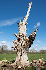 Charlecote Park - dead tree.jpg