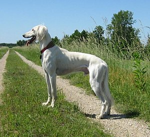 Saluki - Saluki with a light colored coat.