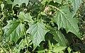Chenopodium hybridum leaf (1).jpg