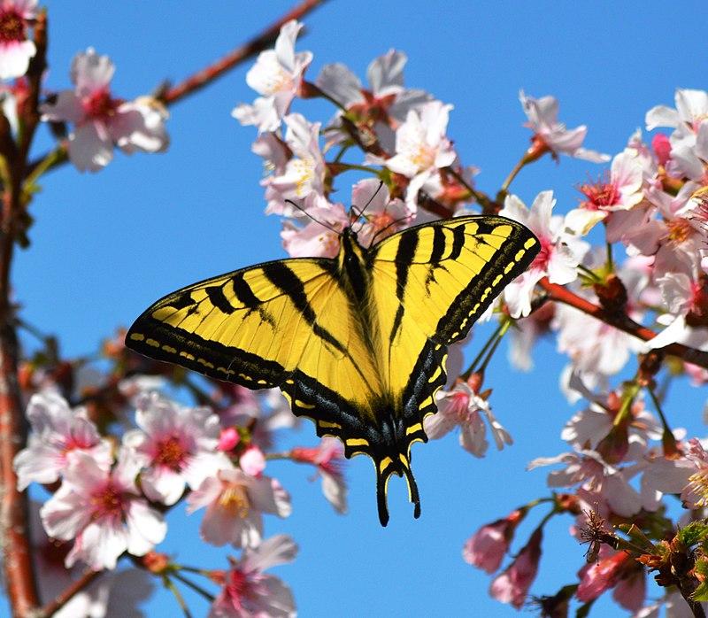Cherry blossoms Lake Balboa (20140330-0222).JPG