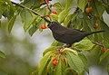Cherry picker (43389161175).jpg