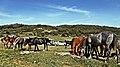 Chevaux - Chrea خيول بالشريعة - panoramio.jpg