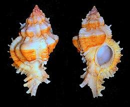 Chicomurex venustulus 001