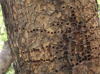 Bark (botany) - Image: Chinese Evergreen Elm after Yellow Bellied Sapsucker, February 2012
