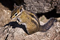 Chipmunk (by Steven Pavlov).jpg