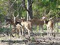 Chital, Bandipur. P1020490.jpg