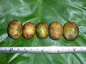 Choerospondias axillaris - Image: Choerospondias axillaris Anacardiaceae
