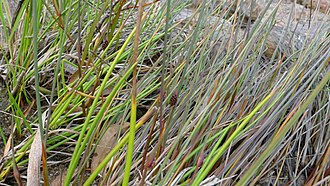 Chorizandra - Chorizandra cymbaria stems and leaves