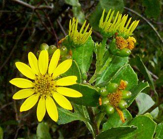 Chrysanthemoides monilifera - C. m. subsp. rotundata
