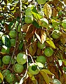Chrysophyllum cainito - Fruit and Spice Park - Homestead, Florida - DSC09136.jpg
