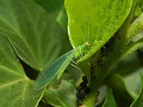 Bộ sưu tập côn trùng 2 - Page 25 280px-Chrysopidae_-_Chrysoperla_cfr._lucasina-2