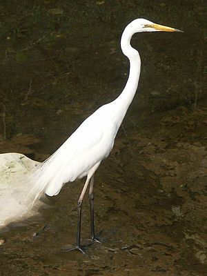 Eastern great egret - Image: Chudaisagi 06c 1467