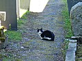 Churchyard cat, Kerry - geograph.org.uk - 513360.jpg
