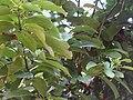 Cinnamomum zeylanicum leaves.JPG