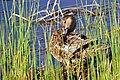 Cinnamon Teal on Seedskadee National Wildlife Refuge (26212625853).jpg