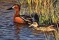 Cinnamon teal at Seedskadee National Wildlife Refuge (41982493892).jpg