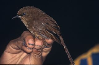Sepia-brown wren species of bird