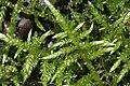 Cirriphyllum piliferum (Haarblattmoos) IMG 0879.JPG