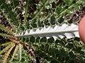 Cirsium canovirens (C. subniveum) (4414039424).jpg