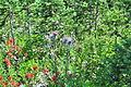 Cirsium japonicum and Castilleja miniata -Paradise, Mount Rainier, August 2014 - 01.jpg