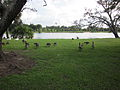 City Park NOLA 4 July 2010 lawn birds.JPG