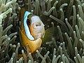 Clark's anemonefish (Amphiprion clarkii) (35635869936).jpg