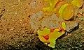 Clown Frogfish (Antennarius maculatus) (8467550137).jpg