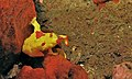 Clown Frogfish (Antennarius maculatus) (8467553197).jpg