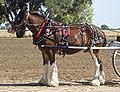 Clydesdale3.jpg