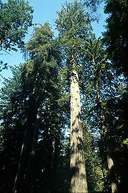 The Coastal redwood is the tallest tree species on Earth.