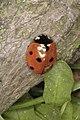 Coccinella septempunctata, Village Green, Cottenham, Cambridgeshire - geograph.org.uk - 329015.jpg