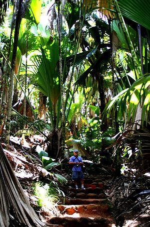 Lodoicea - The Vallée De Mai palm forest in Praslin
