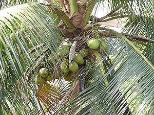 a coconut tree.