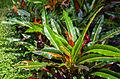Codiaeum variegatum, Ciudad Ho Chi Minh, Vietnam, 2013-08-14, DD 01.JPG