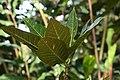 Codiaeum variegatum 51zz.jpg
