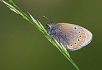 Coenonympha leander - Russian Heath butterfly.jpg