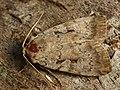 Coenophila subrosea - Rosy marsh moth - Земляная совка розоватая (41037535492).jpg
