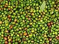 Coffee berries harvest in Anaimalai Hills, Southern Western Ghats P1110955.jpg