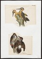 Colaptes spec. - 1700-1880 - Print - Iconographia Zoologica - Special Collections University of Amsterdam - UBA01 IZ18700225.tif