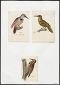 Colaptes spec. - 1700-1880 - Print - Iconographia Zoologica - Special Collections University of Amsterdam - UBA01 IZ18700227.tif