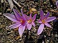 Colchicum autumnale 002.JPG
