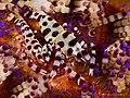Coleman's Shrimp (11019853314).jpg