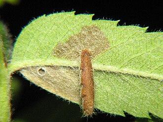 Coleophora - Image: Coleophora serratella