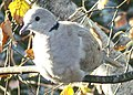Collared Dove - geograph.org.uk - 589363.jpg
