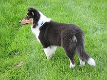 Image Result For Akc Therapy Dog