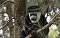 Colobus monkey at Amora Gedel Park, Hawassa (10) (29132906585).jpg