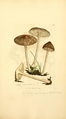 Coloured Figures of English Fungi or Mushrooms - t. 323.png