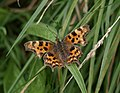 Comma near Littlehempston - geograph.org.uk - 943435.jpg