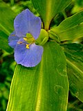 Commelina virginica - Virginia Dayflower.jpg
