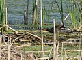 Common Gallinule (34872528942).jpg